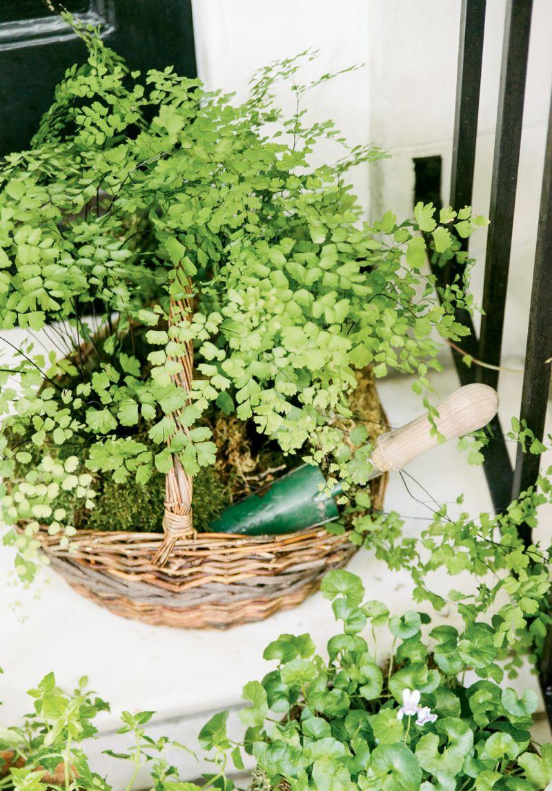 A basket of maidenhair fern
