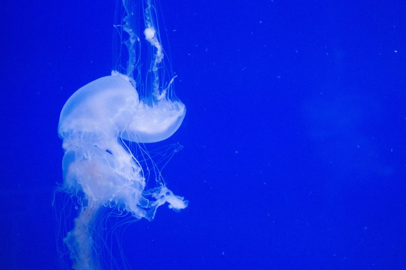 A jellyfish in the coast exhibit
