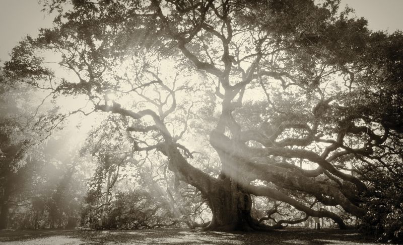On John's Island, the sprawling limbs of the centuries-old Angel Oak are transformed by heavenly light.