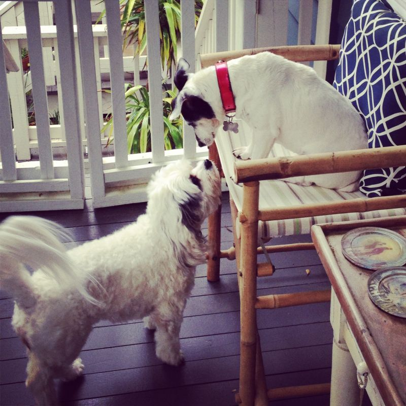 Lola & Coconut, Jack Russell Terrier and Bichon Mix