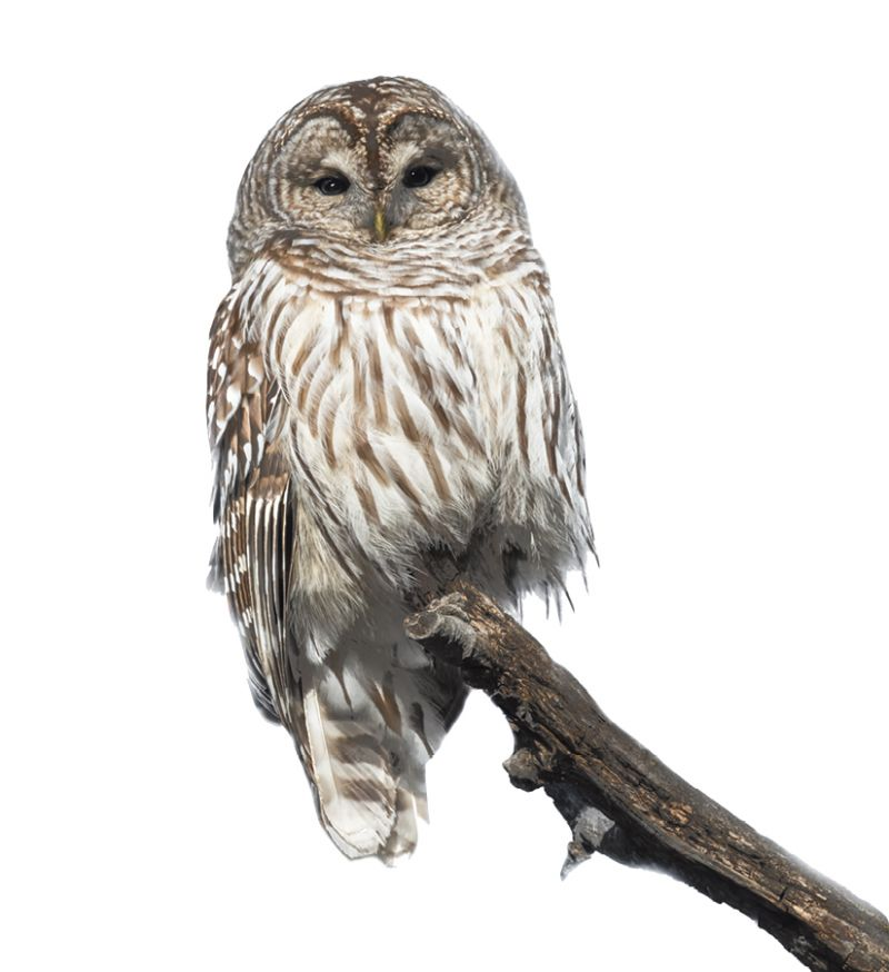 Barred owls frequent the floodplains and swamps.