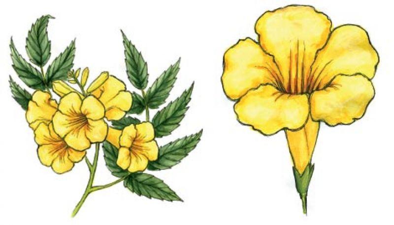 Yellow bells charleston magazine at a glance common name yellow bells mightylinksfo