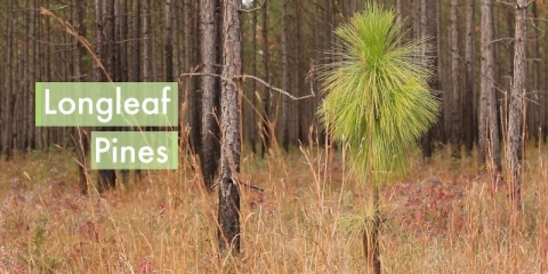 Embedded thumbnail for VIDEO: Longleaf Pine
